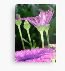 Purple And Pink Daisy Flower in Full Bloom Metal Print
