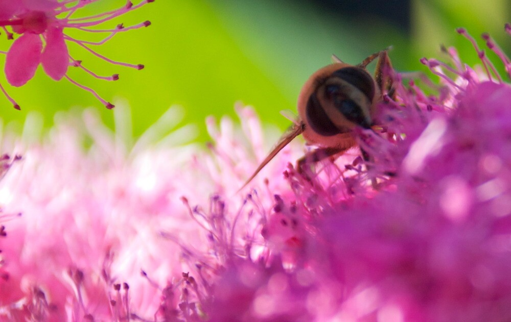 Bee on Angelica by jneilson