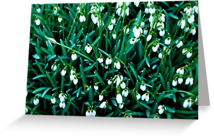 Snowdrops by KarenM