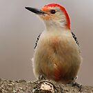 Red Bellied Woodpecker by Gregg Williams