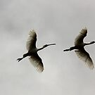 Upward Bound  Spoonbills  by Kym Bradley