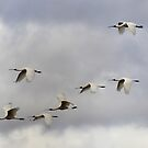 7 Up  ~ All 7 spoonbills in flight ~ by Kym Bradley