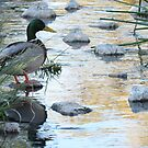 Mallard Morning (Drake) by Kimberly Chadwick