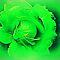 *St.Patrick's Day Flower - Enchanted Flowers*