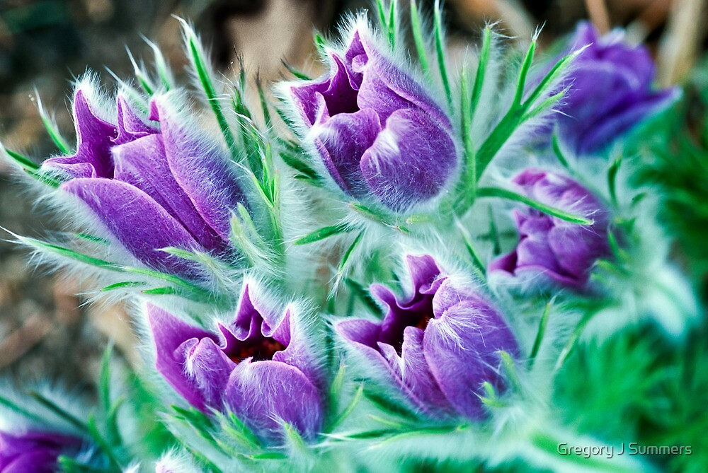 Lush - Pasque Flowers by Gregory J Summers