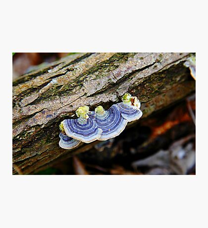 Turkey Tail  Photographic Print