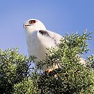 Black Shouldered Kite   Looking for dinner by Kym Bradley