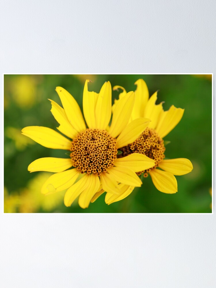 Alternate view of Oxeye bouquet Poster