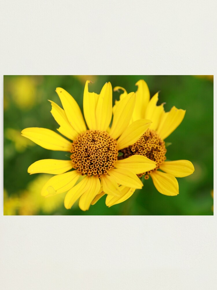 Alternate view of Oxeye bouquet Photographic Print