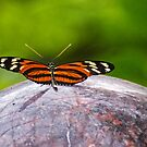 Ismenius Tiger Butterfly by gharris