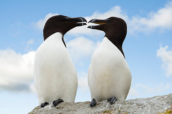 Razorbills chatting, Saltee Island, County Wexford, Ireland by Andrew Jones