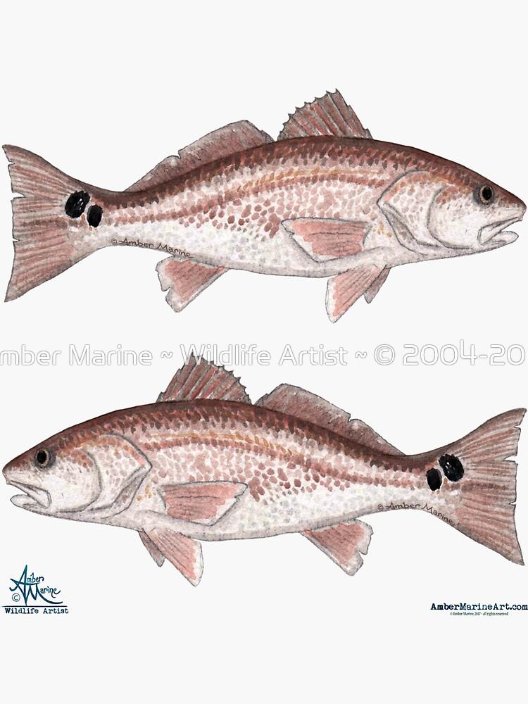 """""""Redfish"""" by Amber Marine ~ watercolor fish art, © 2013 by AmberMarine"""