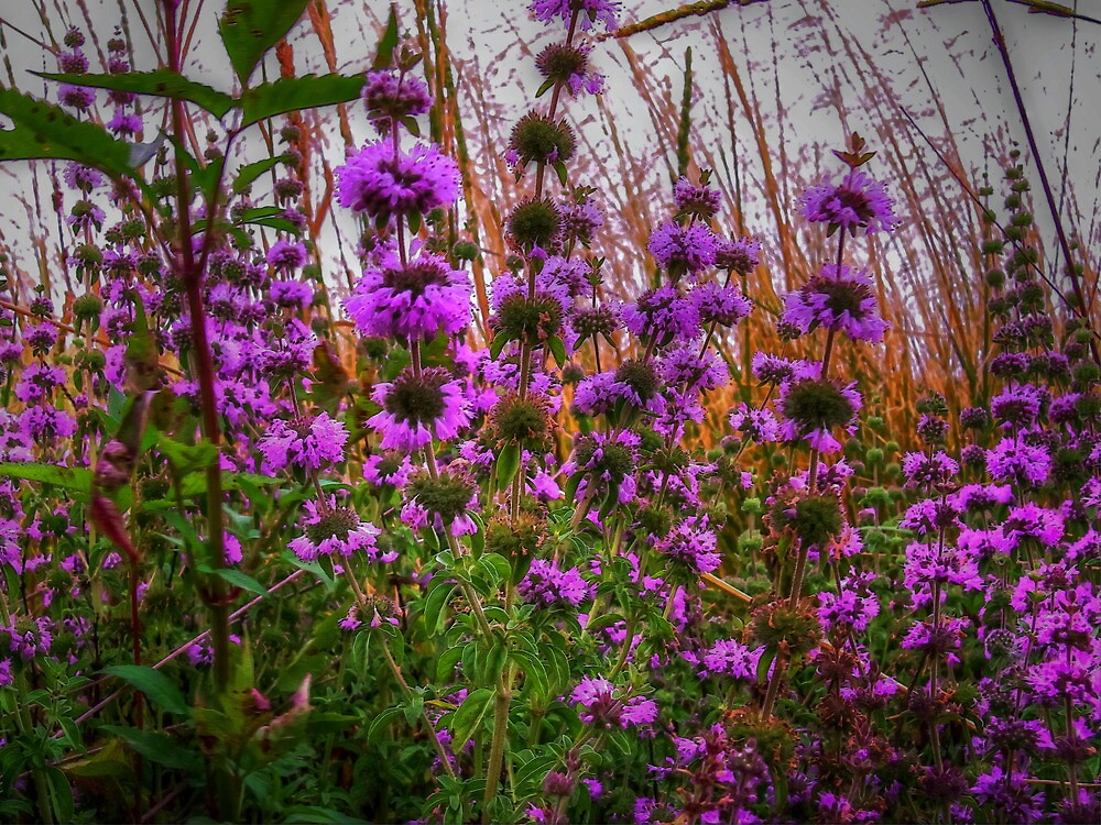 Wild Field Mint Glory by Charles & Patricia   Harkins ~ Picture Oregon