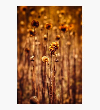 Sunflower Heads in the Winter Sun Photographic Print