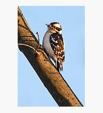 Downy Woodpecker and Budding Maple Branch Photographic Print