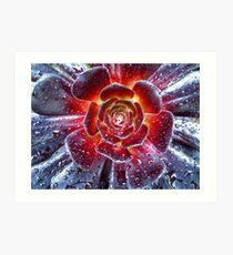 Succulent Aeonium Art Print