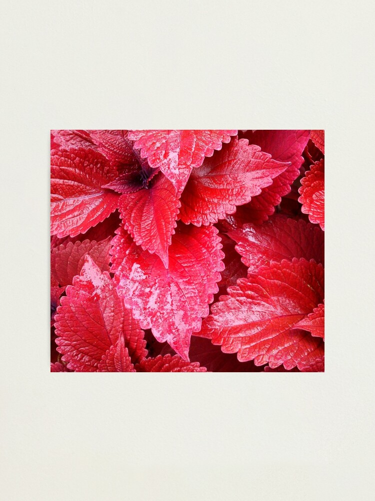 Alternate view of Simply Red Photographic Print