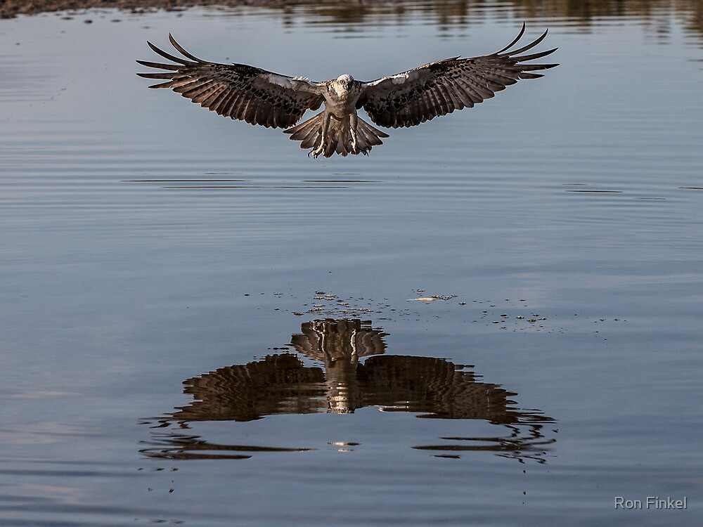 Hastings Point Osprey by Ron Finkel