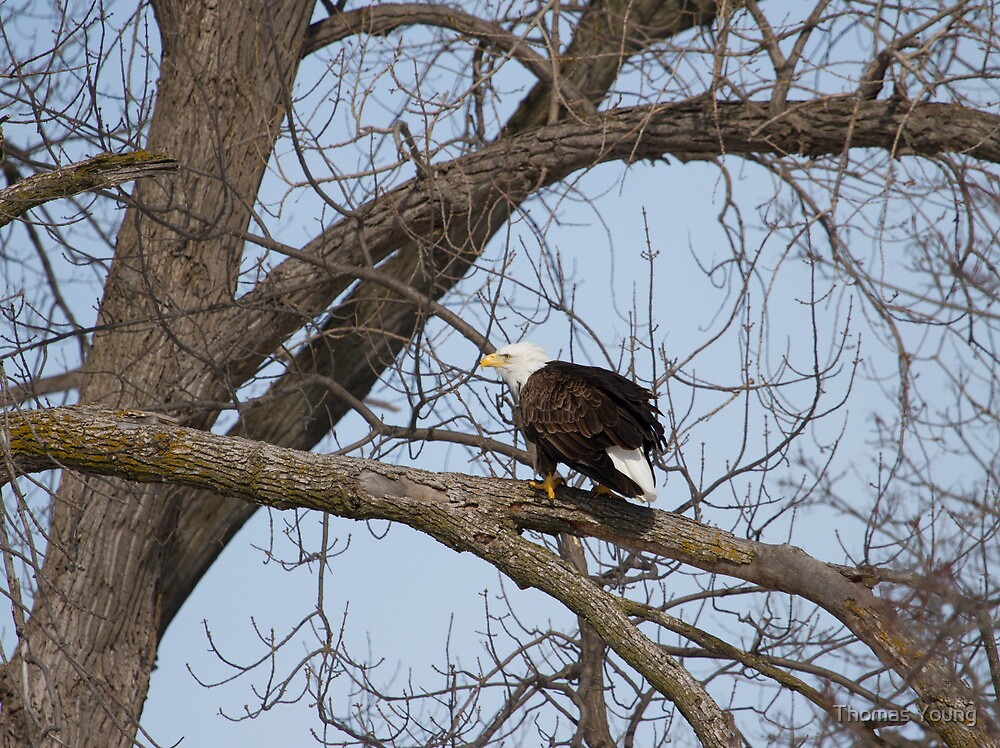 American Bald Eagle With Food 1 by Thomas Young