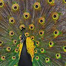 Peacock Art. by Ross Hutton