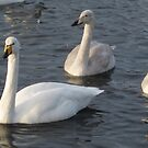 3 Swans a Swimming by Snowkitten
