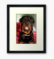 Portrait Of A Young Rottweiler Male Dog Framed Print