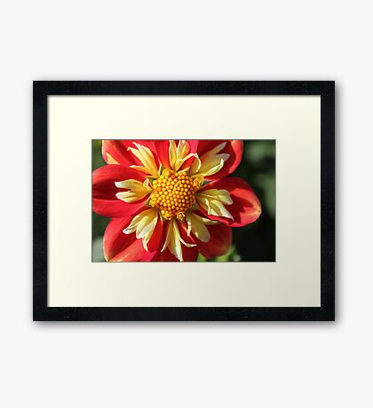 Unusual Dahlia.. Framed Print