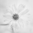 Daisy by Maggy Morrissey