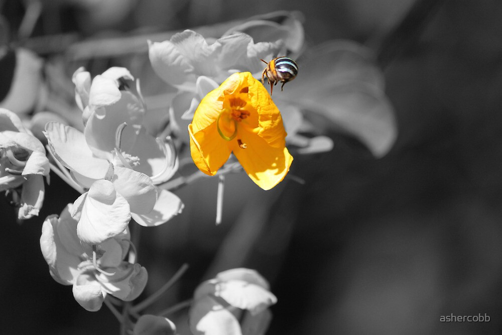 Blue Banded Bee by ashercobb