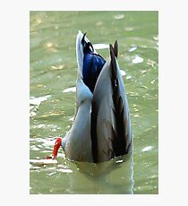 Bottom's Up Dabbling Duck Photographic Print
