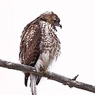 Red-Tailed Hawk by (Tallow) Dave  Van de Laar