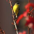Lesser Goldfinch In Autumn Blaze Maple Tree by K D Graves Photography