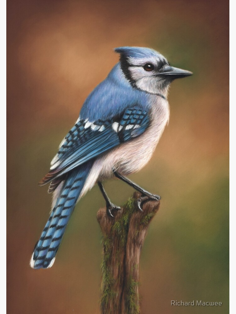 Blue Jay Bird Artwork by richardmacwee