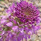 Rocky Mountain Bee Plant © by jansnow