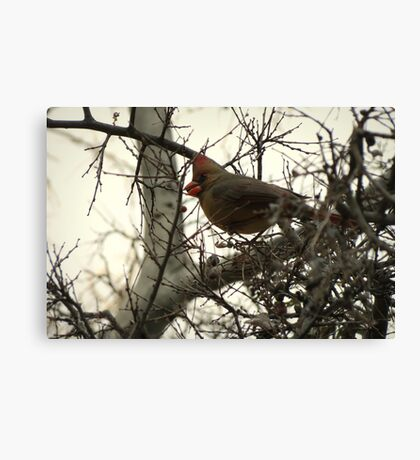 Cardinal (Female) Candy Canvas Print