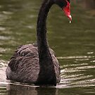 Shy  ~  Black Swan ~ by Kym Bradley