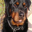 Mature Male Rottweiler Portrait by taiche