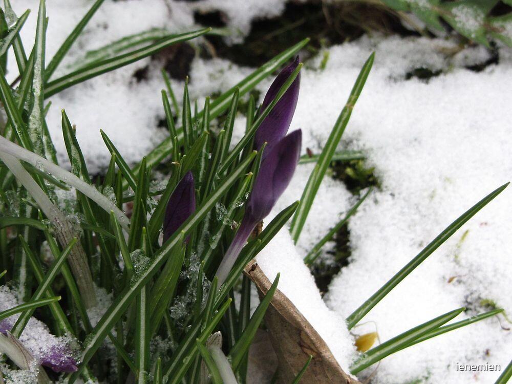 Crocus Flower - A night with snow by ienemien