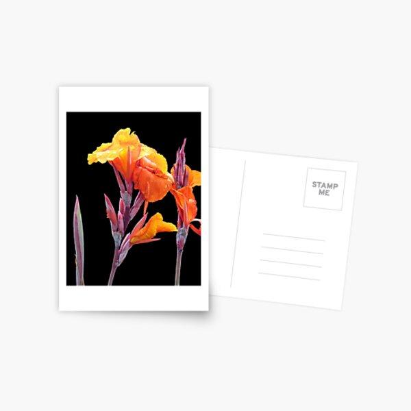 Orange Canna Lily Postcard