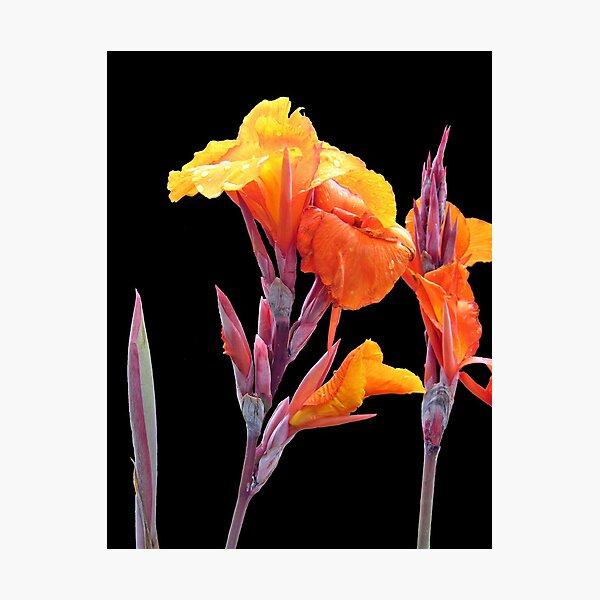 Orange Canna Lily Photographic Print