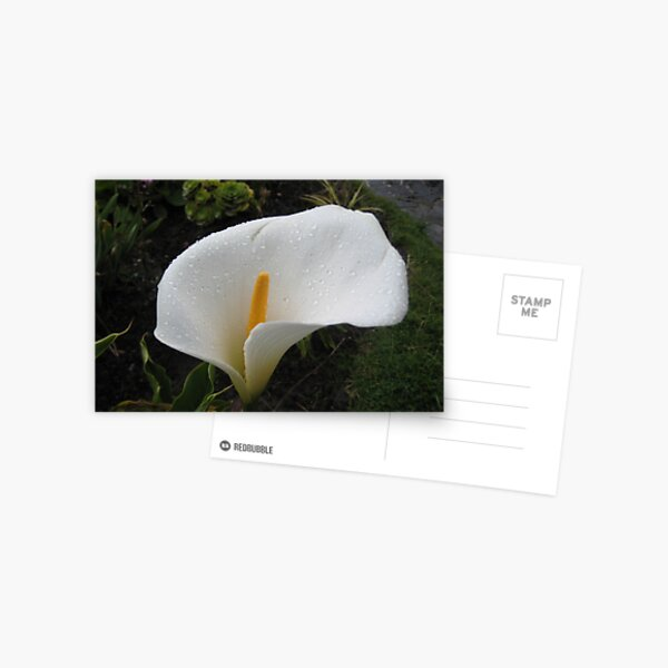 Wet Calla Lily Postcard