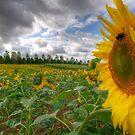 Devon Sunflower Field by benivory