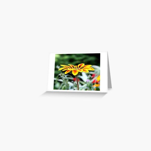 Gazania Joy Greeting Card