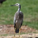 On Duty ~ White Face Heron ~ by Kym Bradley