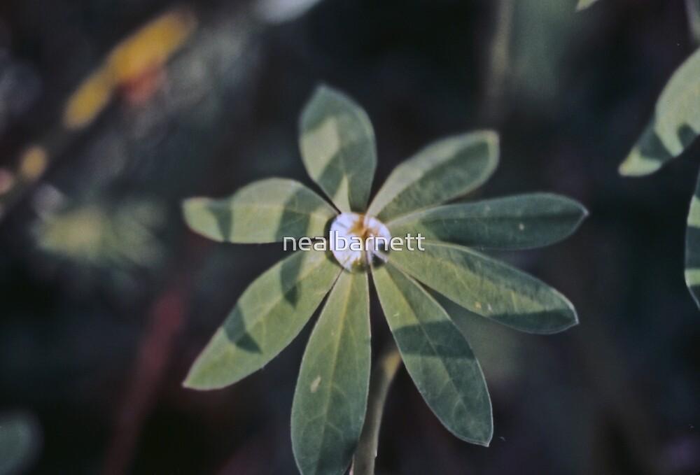 Dewdrop on a lupine leaf by nealbarnett