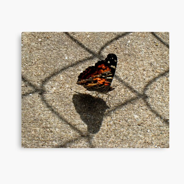 American Beauty Butterfly Canvas Print