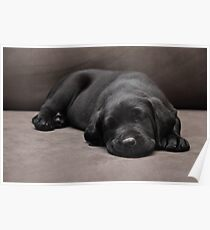 Tired Out - Cute Labrador Puppy Poster