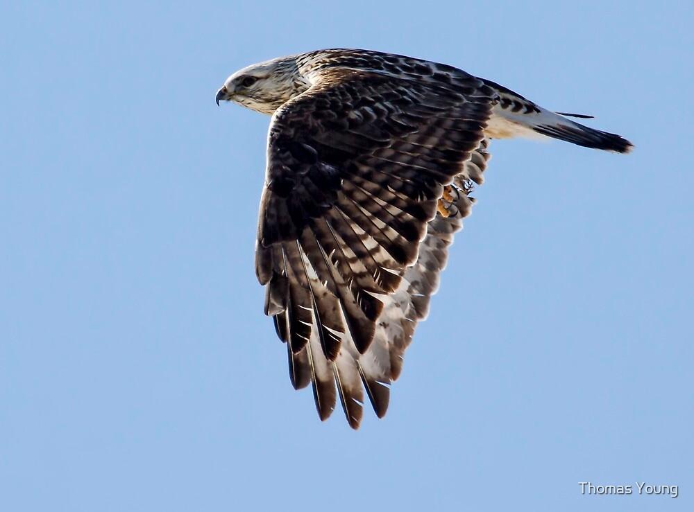 Rough Legged Hawk In Flight by Thomas Young