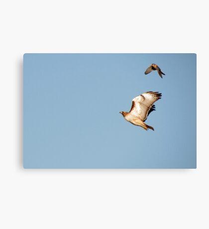 Red-tailed Hawk vs. American Kestrel  Canvas Print