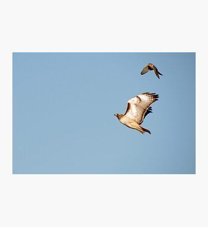 Red-tailed Hawk vs. American Kestrel  Photographic Print